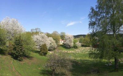 Höjentorp i full körsbärsskrud Axvall-Skara