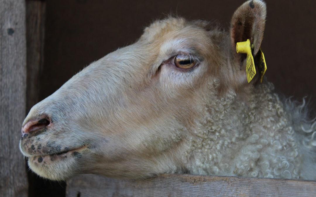 Johanssons-lamm-och-ull-får